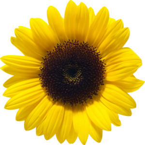 sunflower- Find Hope in Sarcoma Treatment
